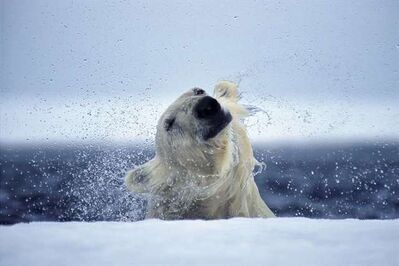 Paul Nicklen, 'Emerging', 2006