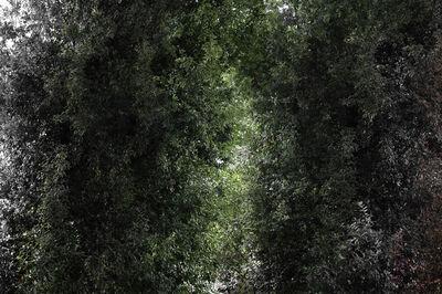 Sang-sun Bae, 'Quercus Phillyraeoides (Ubamegashi Oak Forest iiii)', 2019