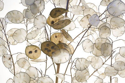 Robert Llewellyn, 'Money Plant Seed Pods', 2013