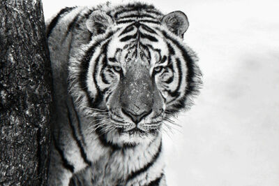 David Yarrow, 'Good Morning Siberia'