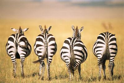 James Warwick, 'Common zebra behinds Masai Mara National Reserve, Kenya', 2015