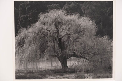 Edward Weston, 'Willow, Santa Cruz', 1933