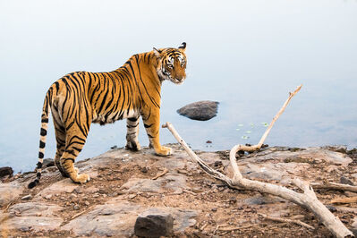 James Warwick, 'Bengal tigress at edge of lake, Ranthambhore National Park, Rajasthan, India ', 2019