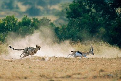 James Warwick, 'Cheetah hunting Thomson's gazelle, Masai Mara National Reserve, Kenya ', 2015