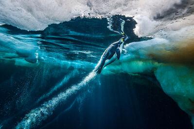 Paul Nicklen, 'Evolve (Penguin)', 2011