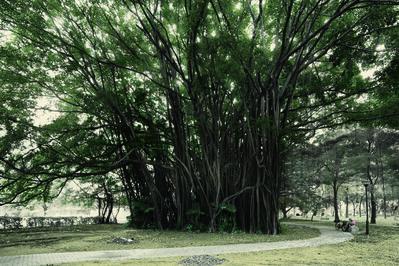 Robert Zhao Renhui, 'Malayan Banyan, Kallang Basin', 2015