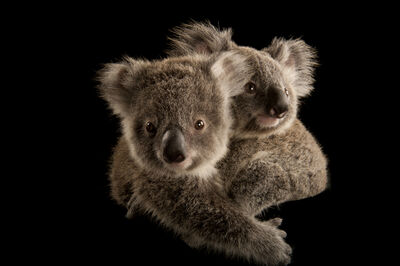 Joel Sartore, 'Two koala joeys cling to each other, waiting to be placed with human caregivers. Once they're old enough, they'll be released into the wild. This is just one of the nearly 10,000 species Joel Sartore has photographed for National Geographic's Photo Ark.', 2011/2017