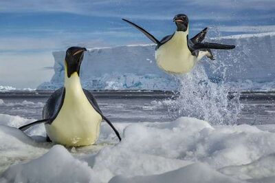 Paul Nicklen, 'Defying Gravity', 2011