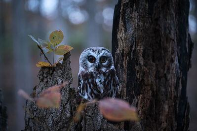 "Carolyn Monastra, '""Northern Saw-whet Owl""', 2018"