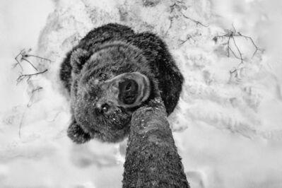 Paul Nicklen, 'Bear Scents', 2012
