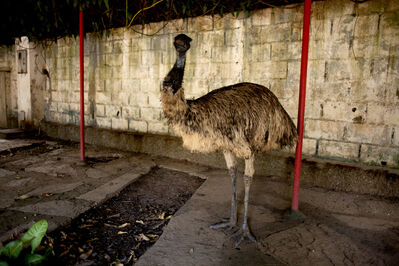 João Castilho, 'Emu (from the series Zoo)', 2014