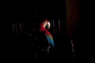 João Castilho, 'Arara Vermelha II (da série Zoo)   Scarlet Macaw II (series Zoo)', 2015