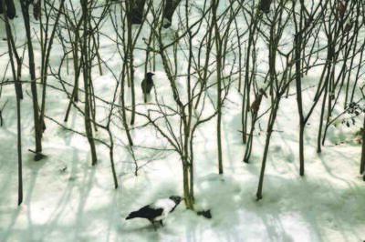 Abbas Kiarostami, 'Trees & Crows 36', 2007