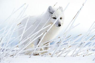 Paul Nicklen, 'Arctic Ghost', 1996