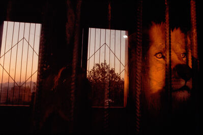 Rebecca Norris Webb, 'Lion, Istanbul, Turkey (from the series The Glass Between Us)', 2003
