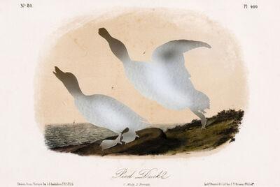 Brandon Ballengée, 'RIP Pied or Labrador Duck: After John James Audubon, 1856', 2007