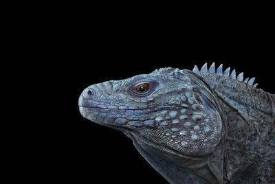 Brad Wilson, 'Blue Iguana #1', 2014