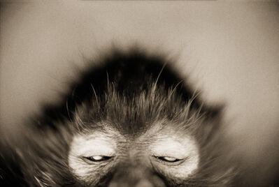 Henry Horenstein, 'White-cheeked Spider Monkey—Ateles marginatus'