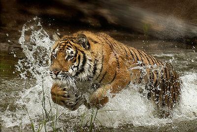 Lou Ann Goodrich, 'Tiger Splash', 2017