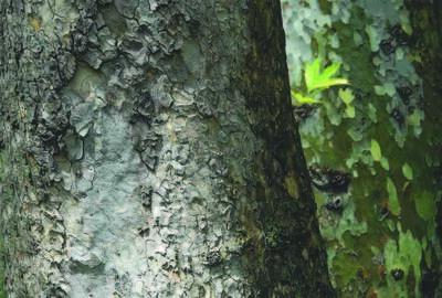 Abbas Kiarostami, 'Trees & Crows 45', 2007