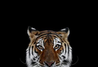 Brad Wilson, 'Tiger #6, Los Angeles, CA', 2010