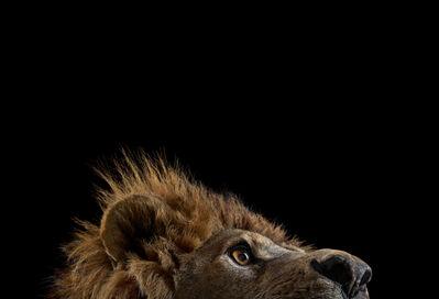 Brad Wilson, 'Lion #1, Los Angeles, CA', 2010