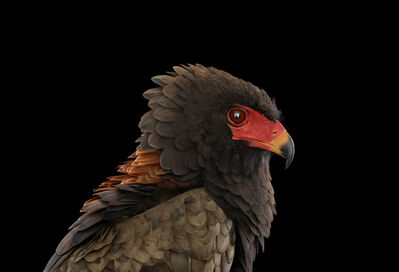 Brad Wilson, 'Bateleur Eagle #1, St. Louis, MO', 2012