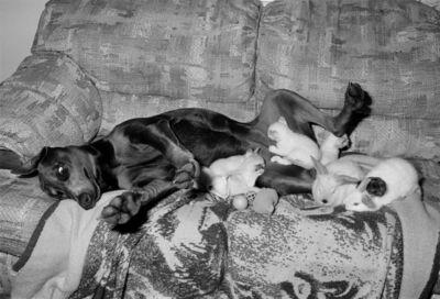 Sage Sohier, 'Doberman with Kittens and Bunnies, Malden, Massachusetts', 1993