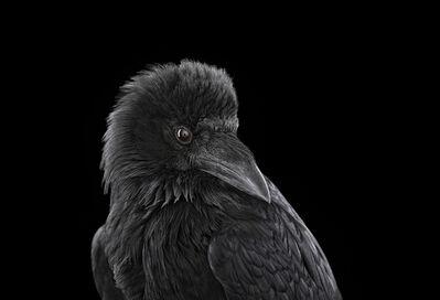 Brad Wilson, 'Raven #2, Albuquerque, NM', 2013