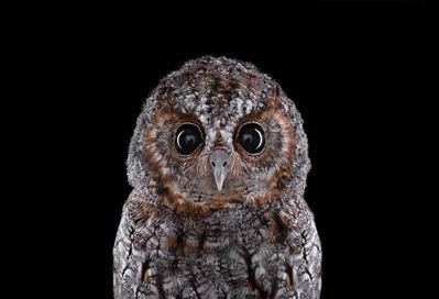Brad Wilson, 'Flammulated Owl #1, Espanola, NM ', 2011