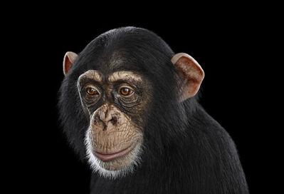 Brad Wilson, 'Chimpanzee #12, Los Angeles, CA', 2010