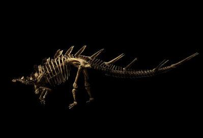 Christian Voigt, 'Kentrosaurus Aethiopicus', 2019