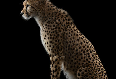 Brad Wilson, 'Cheetah #1, Los Angeles, CA ', 2011