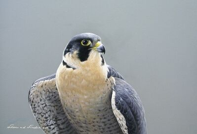 Léon van der Linden, 'Peregrine falcon'
