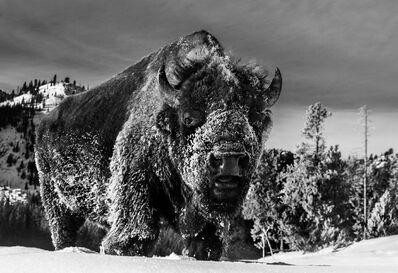 David Yarrow, 'The Beast of Yellowstone', 2021