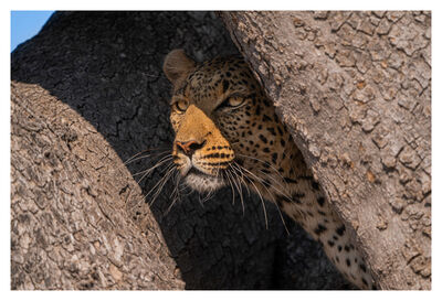 Celina Chien, 'Portrait of a Leopard in Hiding', 2019
