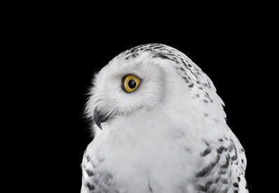 Brad Wilson, 'Snowy Owl #2, Los Angeles, CA', 2015