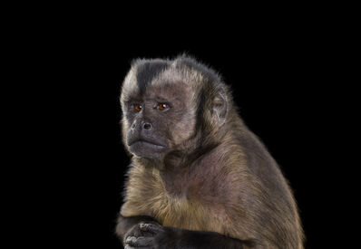 Brad Wilson, 'Capuchin Monkey #5, Monterey, CA, ', 2014