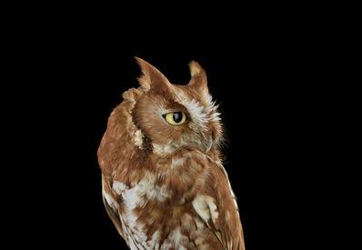Brad Wilson, 'Eastern Screech Owl #2, St. Louis, MO', 2012