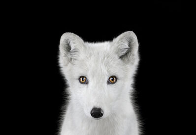 Brad Wilson, 'Arctic Fox #1, Los Angeles, CA', 2011