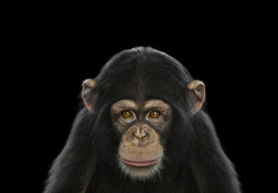 Brad Wilson, 'Chimpanzee #6, Los Angeles, CA', 2010