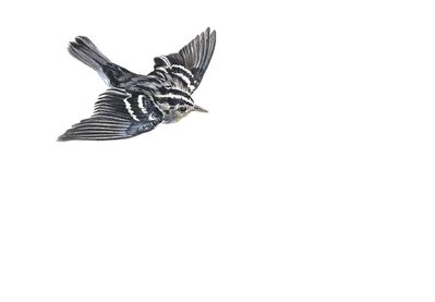 Kevin King, 'Black and White Warbler', 2014