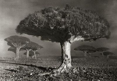 Beth Moon, 'Dragon Blood Forest at Dawn', 2010/2012
