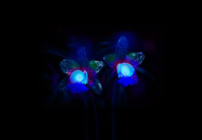 Robert Zhao Renhui, ' Orchids in Ultraviolet, from the series How to eat bees?', 2013