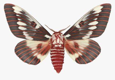 Joseph Scheer, 'Citheronia Splendens Male'