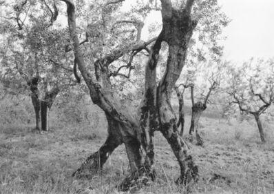 Mark Steinmetz, 'Tuscan Trees #19', 1996