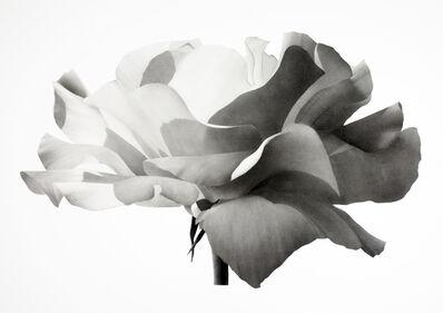 Jonathan Delafield Cook, 'Rose II', 2021