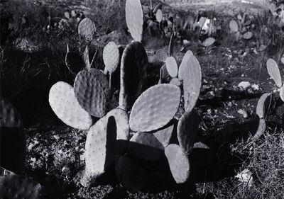 Hannah Collins, 'A Future Life (Cactus)', 2006