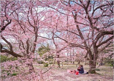 David Burdeny, 'Hanami Party, Kyoto, Japan', 2021