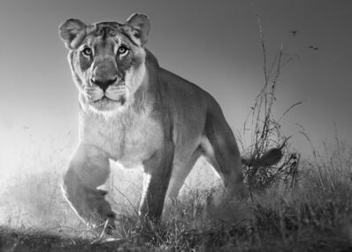 David Yarrow, 'Dawn Run', 2017